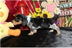 Picture of DESTINY - BEAUTIFUL BABY GIRL - AKC REGISTERED