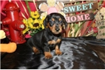 Picture of DOLLY - CAPTIVATING PERSONALITY - AKC - FATHER OFA