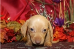 Picture of DASH - SWEETEST PUPPY DOG EYES - AKC REGISTERED