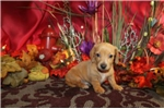 Picture of DOLLIE - CAPTIVATING PERSONALITY  -  AKC