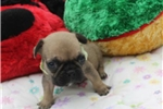 Picture of FRANCESCA - ADORABLE BABY GIRL - AKC REGISTERED