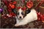 Picture of POOKA - ENCHANTING BABY GIRL  -  AKC