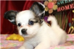 Picture of PRICILLA  -  ADORABLE BABY GIRL  -  AKC REGISTERED