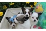 Picture of PORKY  - BRIGHTEN YOUR DAY  - AKC REGISTERED