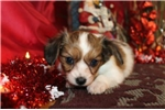 Picture of PANSY -  SWEETEST BABY GIRL  -  AKC