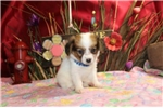 Picture of PETER  - HANDSOME BABY BOY  -  AKC REGISTERED