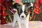 Picture of PAUL - CHARMING PERSONALITY  -  AKC REGISTERED