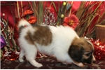 Picture of PEPPERMINT  - SWEETEST BABY BOY  -  AKC