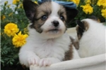 Picture of PINKY - BUNDLE OF JOY - AKC REGISTERED
