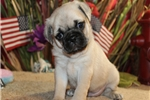 Picture of PENELOPE - ENCHANTING BABY GIRL - AKC REGISTERED