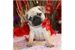 Picture of POOKA - LIGHT OF YOUR LIFE -    AKC -  Father OFA