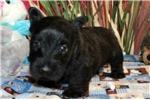 Picture of SEBASTIAN - BEAUTIFUL BABY BOY - AKC REGISTERED