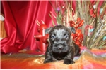 Picture of SNICKERS - AKC