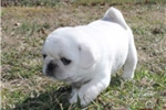 Picture of PEGASUS - CUTE LITTLE ROLLS- BEAUTIFUL SILVER FAWN