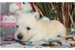 Picture of SMORE  -  ALWAYS HAPPY  - AKC REGISTERED