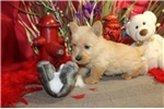 Picture of SABRINIA - WONDERFUL PERSONALITY - AKC REGISTERED