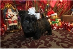 Picture of SNOWFLAKE - WONDERFUL PERSONALITY - AKC REGISTERED