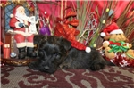 Picture of SECRET  - LOVES TO CUDDLE - AKC REGISTERED