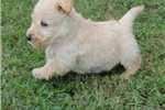 Picture of SKIP - FULL OF ENERGY - AKC REGISTERED - OFA