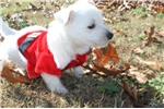 Picture of WINK - VERY OUTGOING -   AKC Registered - NEUTERED