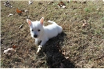 Picture of WALLY -  VERY PLAYFUL - AKC REGISTERED