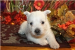 Picture of WALLY - KING OF THE PLAY YARD - AKC REGISTERED