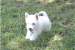 Picture of CHARLIE - LOVES TO PLAY  - AKC REGISTRATION