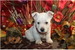 Picture of WISE - LOVES TO EXPLORE - AKC REGISTERED
