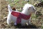 Picture of WILLOW - SWEETEST BABY GIRL  - AKC REGISTERED
