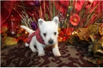 Picture of WINTER  - LITTLE DIVA  -  AKC -  Father OFA