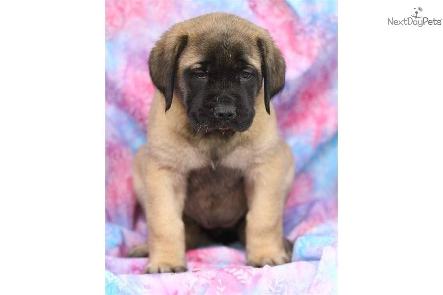 Adorable englsih mastiff puppy for adoptiondog mastiff puppy 81169177