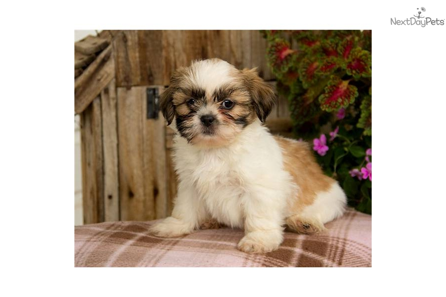 Meet Brittany a cute Shih Tzu puppy for sale for $375