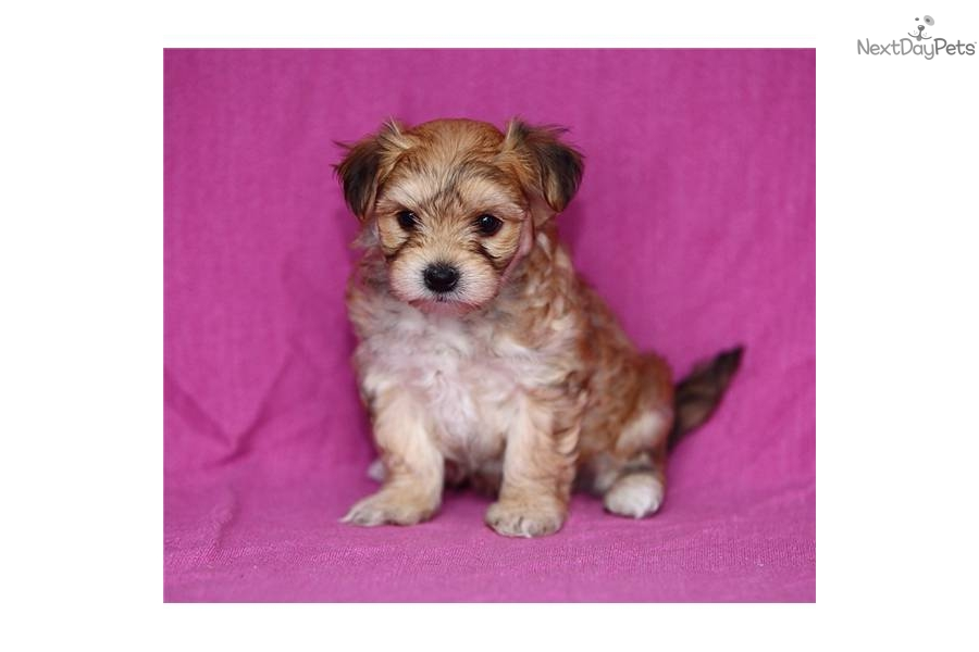 Morkie / Yorktese for sale for $600, near Lancaster, Pennsylvania ...