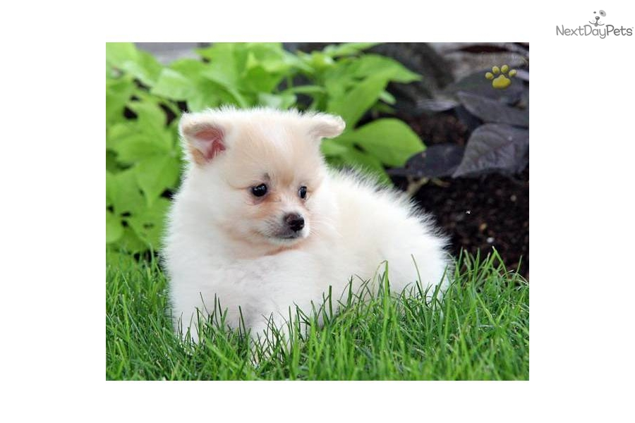 Meet Fluffy a cute Pomeranian puppy for sale for $300 ...