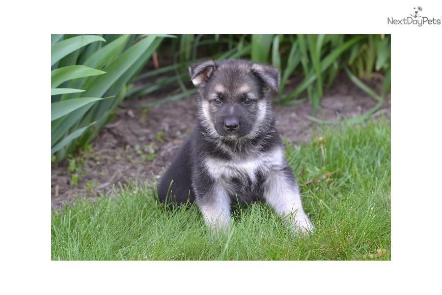 Meet Silver a cute German Shepherd puppy for sale for $700 ...