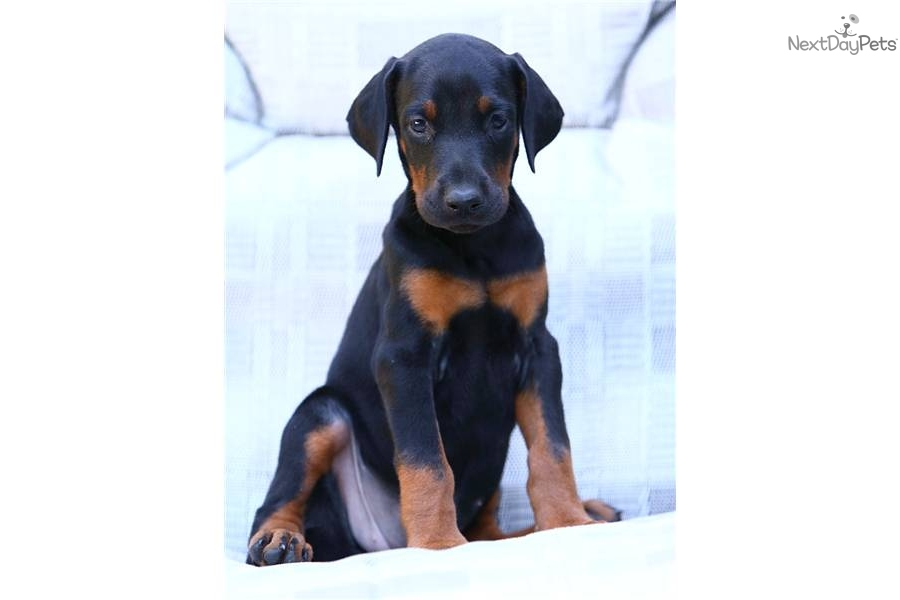 warlock doberman pinscher 18 - photo #16