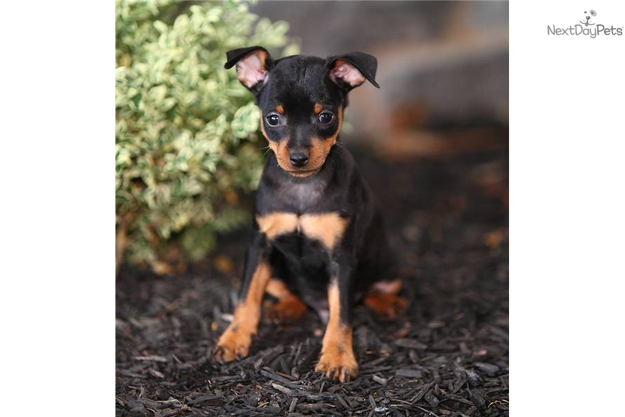 mini pinscher pcci papers for sale Chihuahua puppies for sale chihuahua dog breeders health contract, shot record, registration papers chihuahua puppies for sale in.
