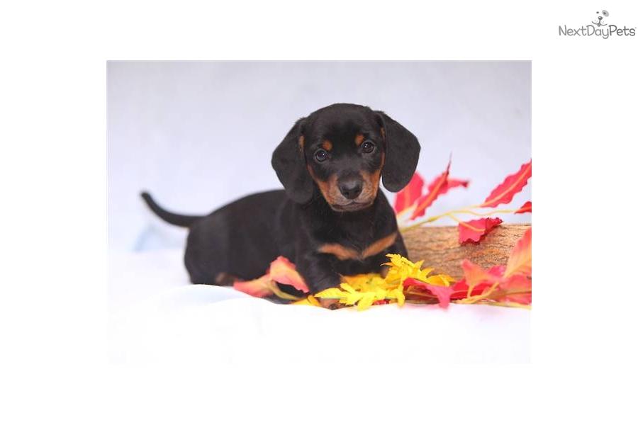 Meet Morgan A Cute Dachshund Mini Puppy For Sale For 600