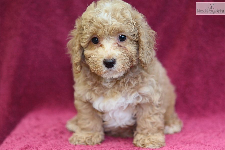 RARE RED Miniature Poodle Puppies | Derby, Derbyshire | Pets4Homes