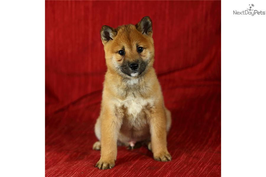 Shiba Inu for sale for $700, near Lancaster, Pennsylvania. 9303519c ...