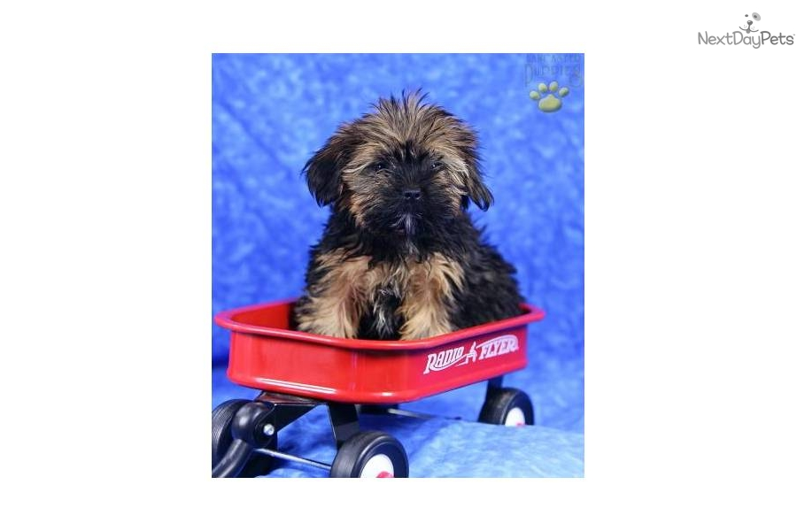 Meet Brittany a cute Shih Tzu puppy for sale for $525