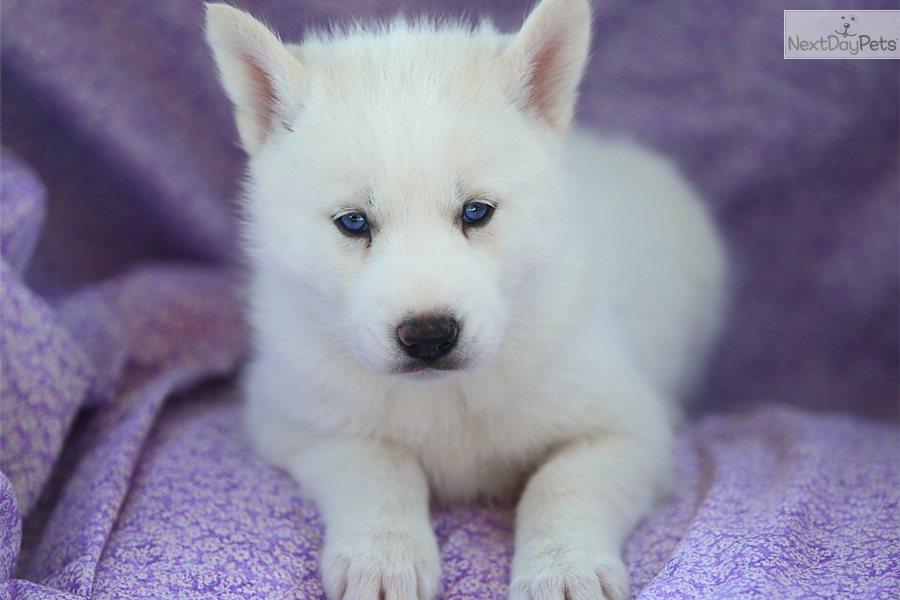... Download Siberian Huskys For Sale Alabama Pomsky Picture Hd Wallpaper