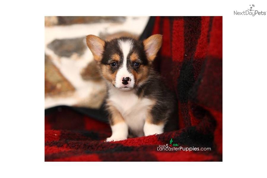Welsh Corgi, Pembroke puppy for sale near Reading ...