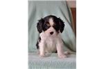 Picture of Oakie, Male, $850