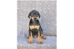 Doberman Pinscher for sale