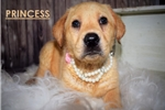 Labrador Retriever for sale