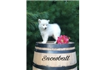 Picture of Snowball, Male, $2750