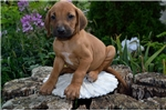 Picture of Rascal, Male, $1495
