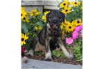 Daisy, Female, $800 | Puppy at 21 weeks of age for sale