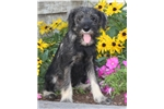 Frisky, Male, $800 | Puppy at 25 weeks of age for sale